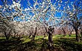 2013 Spring blossoms in Isfahan 02.jpg