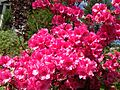 2014-05-17 10 25 16 Pink-flowered Azaleas in front of an old house on Spruce Street (Mercer County Route 613) in Ewing, New Jersey.JPG