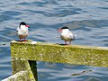 2014-05-18 Sterna hirundo, Killingworth Lake, Northumberland 01.jpg