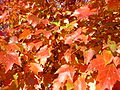 2014-10-30 10 08 41 Red Maple foliage during autumn along Dunmore Avenue in Ewing, New Jersey.JPG