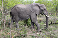 2014-11-23 069 Elefant (Elephantdae) anagoria.JPG