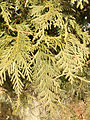 2014-12-30 12 32 52 Arborvitae foliage on the west side of the William Green House at the College of New Jersey in Ewing, New Jersey.JPG
