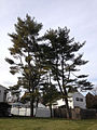 2014-12-30 12 52 04 Eastern White Pines at the intersection of Hollowbrook Drive and Upland Avenue in Ewing, New Jersey.JPG