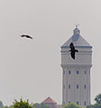2014.07.10.-13-Eilenburg Hainichen--Kolkraben im Flug vorm Wasserturm Eilenburg.jpg