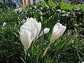 20140310Crocus vernus cultivars3.jpg