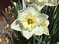 2015-03-16 12 32 29 Daffodil on Idaho Street (Interstate 80 Business) in Elko, Nevada.JPG