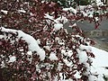 2015-05-07 08 05 05 New leaves and flowers covered by a late spring wet snowfall on a Crabapple on College Avenue in Elko, Nevada.jpg