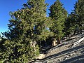 2015-07-13 08 29 18 View west along the North Loop Trail as it passes into dense Great Basin Bristlecone Pine groves about 6.3 miles west of the trailhead in the Mount Charleston Wilderness, Nevada.jpg