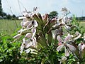 20150625Saponaria officinalis3.jpg