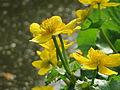 20160422Caltha palustris5.jpg
