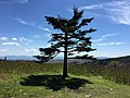 2017-05-16 15 05 57 Fraser Fir along the Appalachian Trail on the west side of Pine Mountain, within the Mount Rogers National Recreation Area in Grayson County, Virginia.jpg
