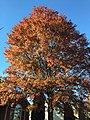 2017-11-10 15 17 22 Pin Oak during late autumn along Kinross Circle near Hughsmith Way in the Chantilly Highlands section of Oak Hill, Fairfax County, Virginia.jpg