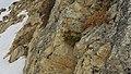 2017.01.27.-50-Paradiski-La Plagne-Champagny-en-Vanoise--Rostblaettrige Alpenrose.jpg