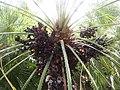 2018-03-10 Fruit on a Palm oil tree, Albufeira (1).JPG