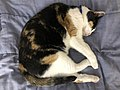 2021-01-14 13 30 49 A Calico cat sleeping on a bed in the Franklin Farm section of Oak Hill, Fairfax County, Virginia.jpg