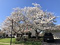 2021-03-30 11 00 36 Cherries blooming along Hidden Meadow Drive in the Franklin Glen section of Chantilly, Fairfax County, Virginia.jpg