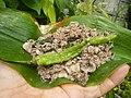 4087Ants Common houseflies foods delicacies of Bulacan 32.jpg