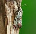49.136 BF965 Cochylis hybridella (5905093929).jpg