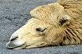 50 Jahre Knie's Kinderzoo - Camelus bactrianus (Trampeltier) 2012-10-03 15-21-11.JPG