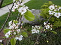 5Cherry blossoms.JPG