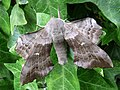 69.003 BF1981 Poplar Hawk-moth, Laothoe populi (3122271595).jpg