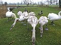 6 Cygnets with Parent Swans - geograph.org.uk - 517823.jpg