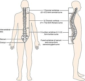 Laminotomy - Human Vertebral Column