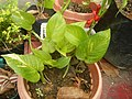 9663Ornamental plants in the Philippines 11.jpg