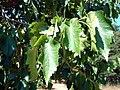 Ağaç fındığı-1.JPG