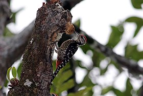 A Freckle-breasted Woodpecker in the midst of the forest.jpg
