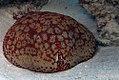 A cushion star, Culcita novaeguineae.jpg