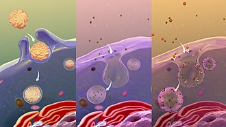 Endocytosis - From L to R: Phagocytosis, Pinocytosis, Receptor-mediated endocytosis.