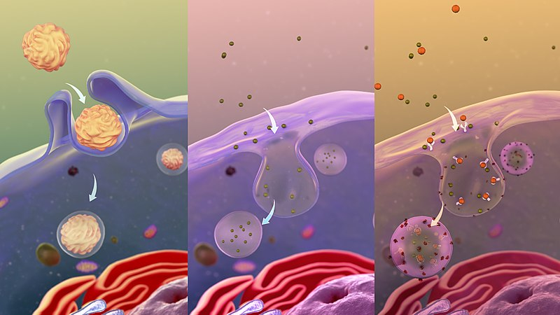 File:A depiction of various types of Endocytosis.jpg