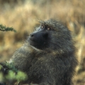 A female olive baboon (Papio anubis)..png