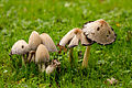A group of common ink cap mushrooms.jpg