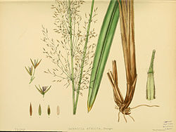 A hand-book to the flora of Ceylon (Plate XCIX) (6430667765).jpg