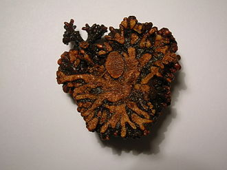Root nodule - Image: A sectioned alder root nodule gall