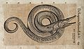 A serpent. Woodcut after C. Gessner. Wellcome V0021194.jpg