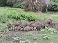 A sounder of pigs in Bandipur TR August 2013 AJTJohnsingh DSCN7762.jpg