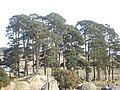 A stand of Scots Pine - geograph.org.uk - 1208757.jpg
