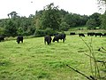 Aberdeen Angus cattle grazing in field adjacent to Pinkney Lane - geograph.org.uk - 546921.jpg