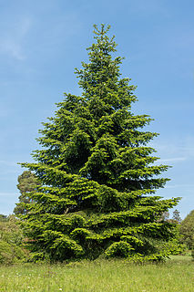 <i>Abies pinsapo</i> species of plant in the family Pinaceae