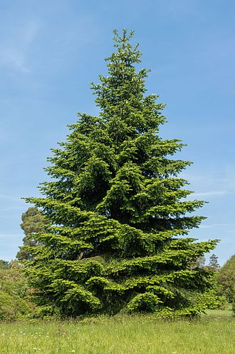 Abies pinsapo - Spanish Fir at Wakehurst Place Botanical Gardens in the UK