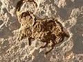 Abri Pataud - Ibex - 20090922.jpg