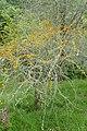 Acacia caven kz06.jpg