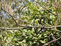 Acacia concinna (5505605567).jpg