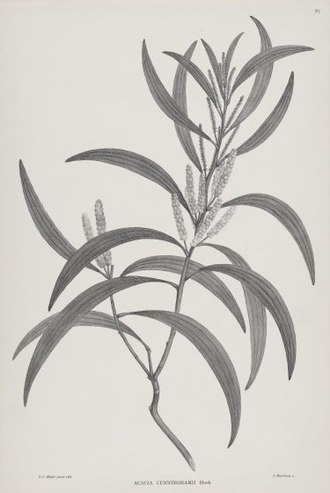 Banks' Florilegium - Acacia cunninghamii from the 1900 Illustrations of Australian Plants release of part of Florilegium in black and white.