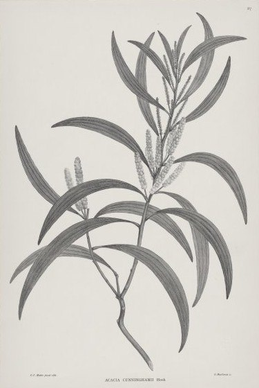 Black and White engraving of Acacia cunninghamii in the Florilegium