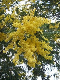 <i>Acacia dealbata</i> species of plant