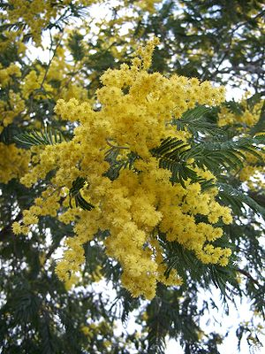 Acacia dealbata - Foliage and flowers